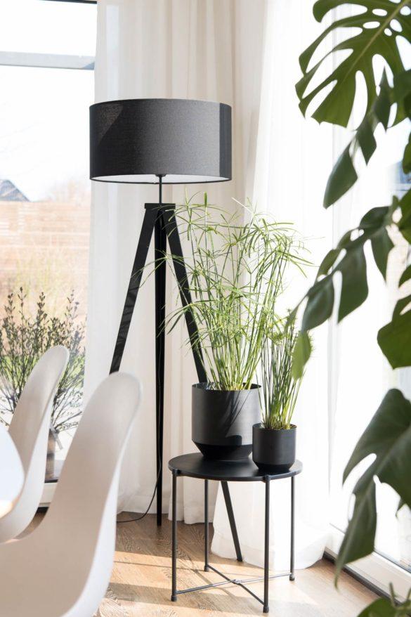 Cyperus Zyperngras Zimmerpflanze
