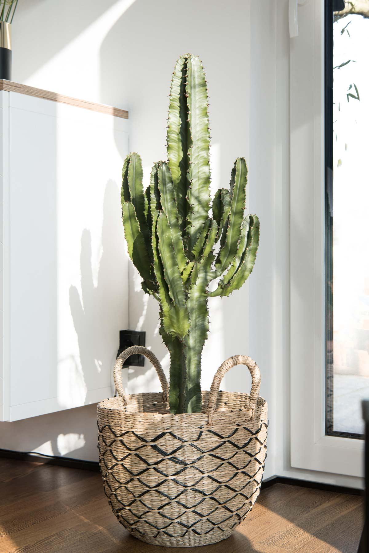 Euphorbia Eritrea Cowboy Kaktus